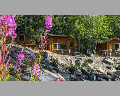Cabins at Denali Hostel, Alaska with purple lupins