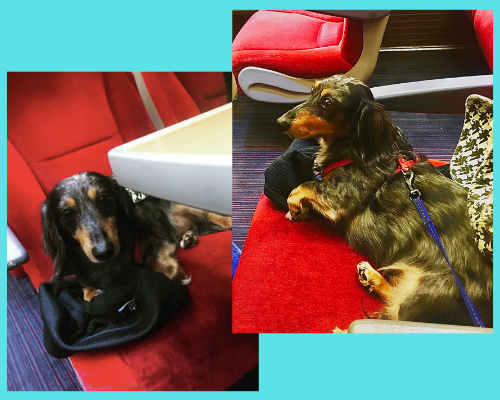 Scrappy, the blue dachshund on a red train seat