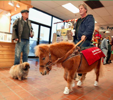 Miniature horse as a service animal inside a building