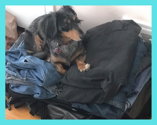 Scrappy the dog sitting on top of clothes in luggage