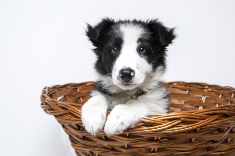 black and white puppy in a basket
